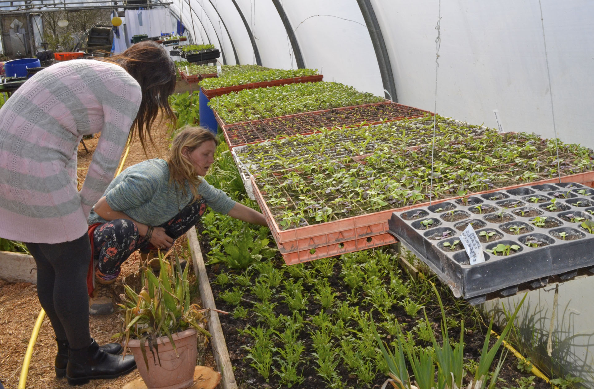 Seedlings in polytunnel
